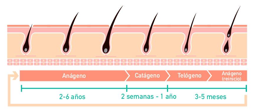 Gráfico con el ciclo de vida del cabello